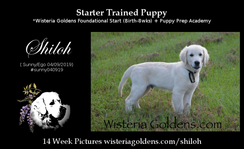 Shiloh Starter Trained Puppy for sale Ready for Adoption Now