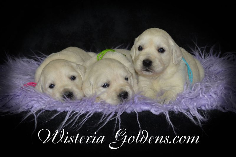 Litter Born 06-29-2019 Three Week Pictures Each PUPPY is raised as part of our family until they become part of yours at Wisteria Goldens