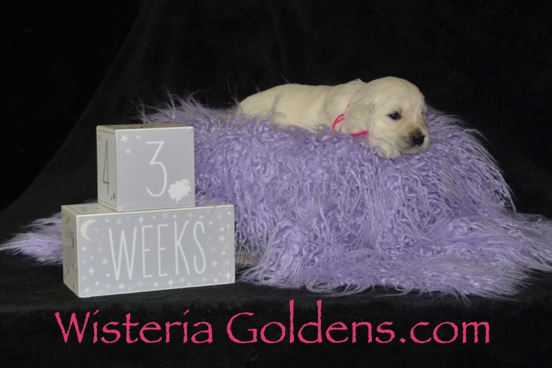 Pink Girl English Cream Golden Retriever Three Weeks