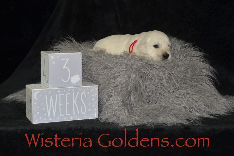 #brighton062919 English Cream Golden Retriever puppies Three Weeks Pictures Wisteria Goldens dot com