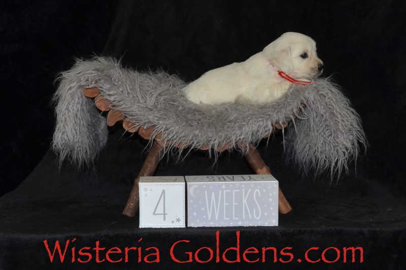 #brighton062919 Four Week Puppy Pictures English Cream Golden Retriever Puppies for Sale Wisteria Goldens Raised as part of our family until they become part of yours. Foundational Start Puppy Culture Bred with Heart AKC Registered English Golden