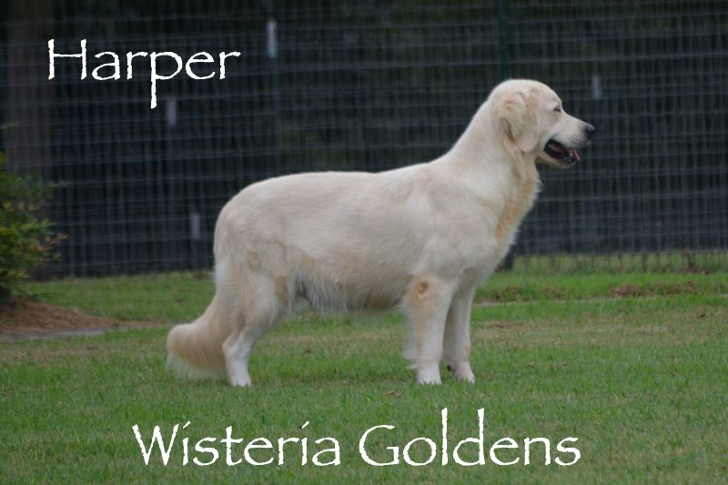 Our Dogs Our Girls Wisteria Goldens