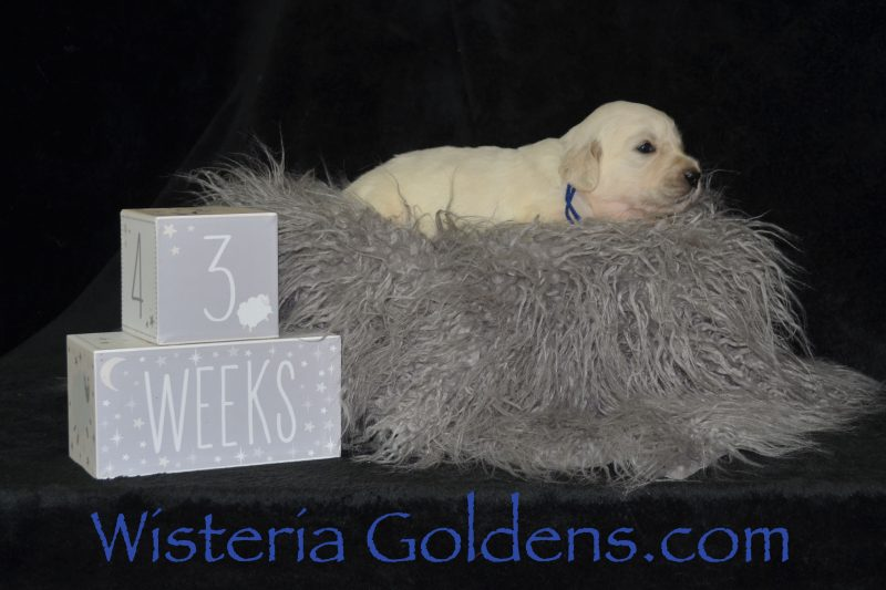 Three Week Pictures #promise062719 Wisteria Goldens English Cream Golden Retriever Puppies for sale