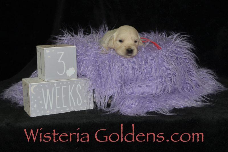 Melon Girl Three Week Pictures #promise062719 Wisteria Goldens English Cream Golden Retriever Puppies for sale