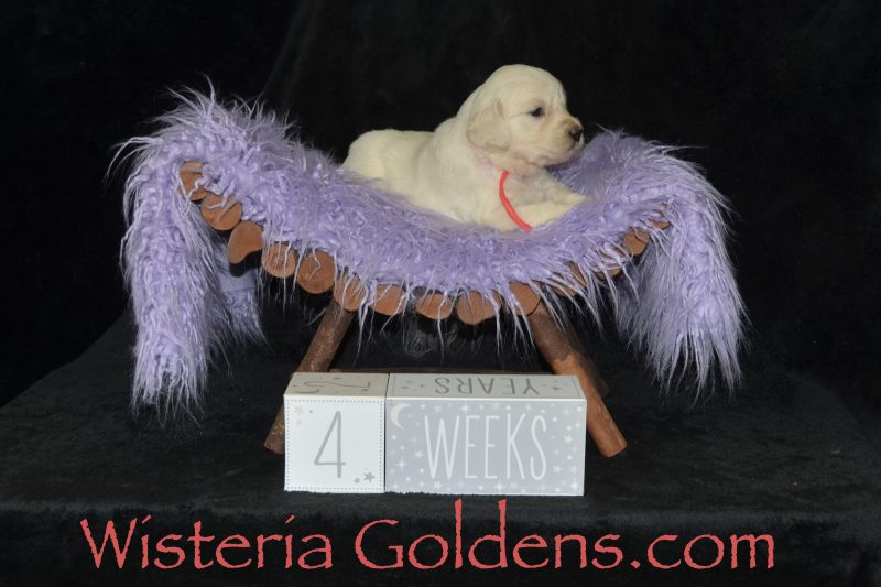 English Cream Golden Retriever Puppies Foundational Start Routine at Wisteria Goldens Puppies are part of our family until they become part of yours. #promise062719 Promise/Tahoe Litter Born 06/27/2019 Four Week Puppy Pictures