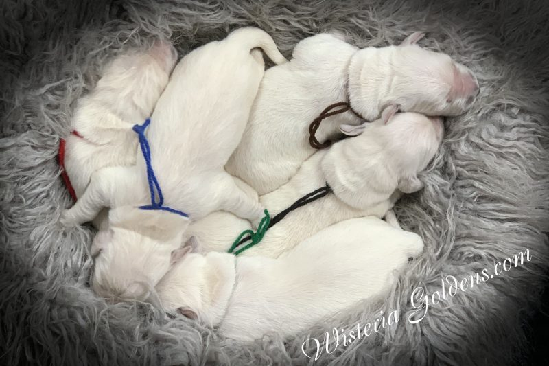 Promise Litter Born 06-27-2019 Newborn Pictures English Cream Golden Retriever puppies for sale Wisteria Goldens...Part of our family until they become part of yours.