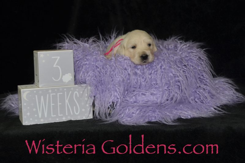 Promise Litter Born 06/27/2019 Wisteria Goldens English Cream Golden Retriever Puppies for Sale. Each puppy is raised as part of our family until they become part of yours. #promise062719