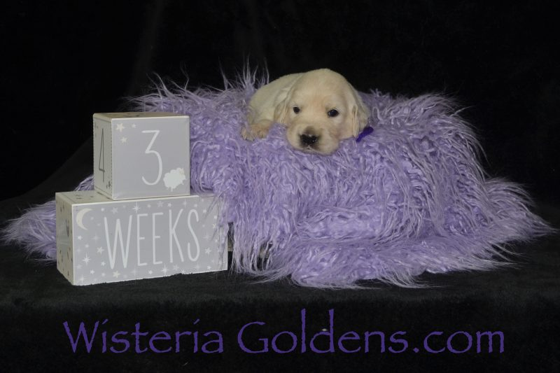 Litter Born 06/27/2019 Wisteria Goldens English Cream Golden Retriever Puppies for Sale. Each puppy is raised as part of our family until they become part of yours. #promise062719