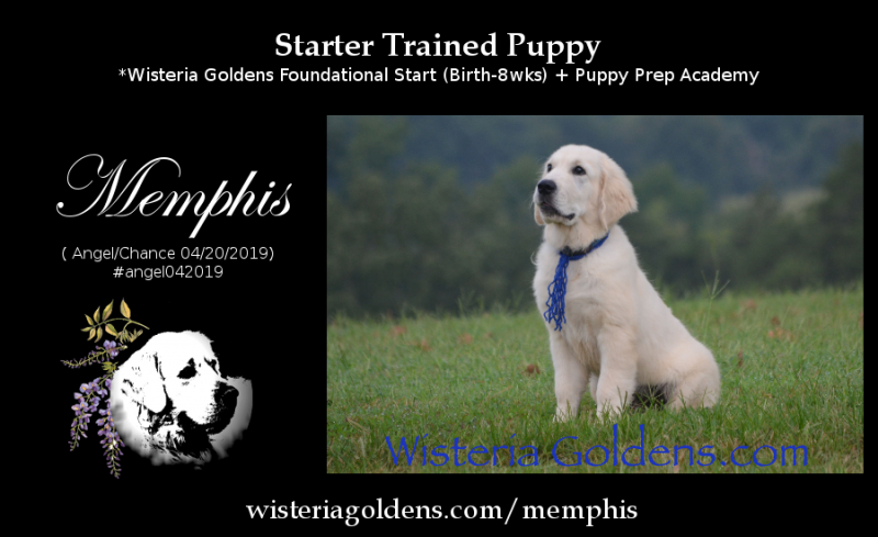 Memphis Sixteen Week Picture and Personality Update including Starter Training Progress Wisteria Goldens English Cream Golden Retriever Starter Trained Puppies Ready for Adoption Now