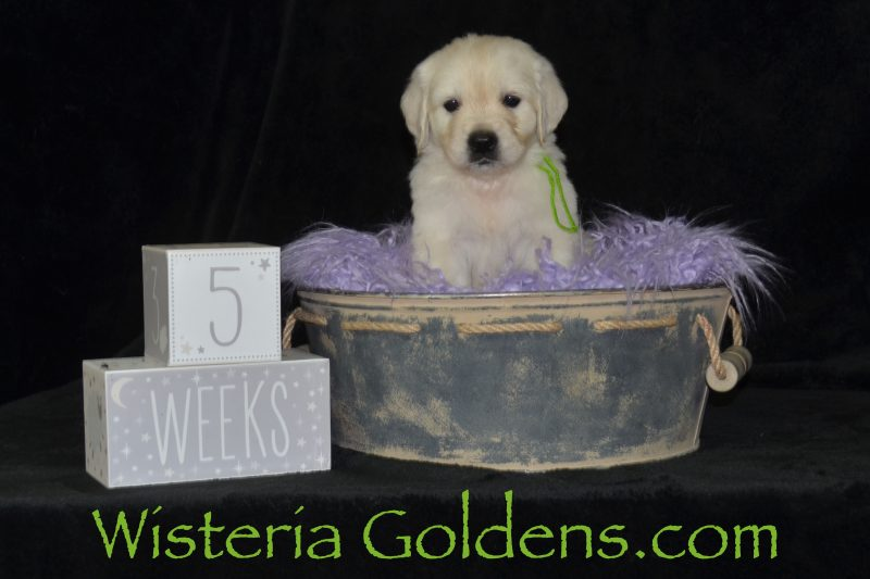 Five Week Pictures #brighton062919  Wisteria Goldens English Cream Golden Retriever Puppy Pictures