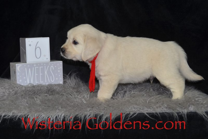 Brighton Litter Six Weeks English Cream Golden Retriever Wisteria Goldens raised as part of our family until they become part of yours