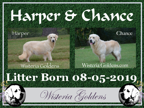 Harper Litter Born 08/05/2019 Wisteria English Cream Golden Retriever Puppies for Sale Harper/Chance Born and Raised as Part of our Family until they become a part of yours! Visit our Happy Families Puppy Updates on our website!