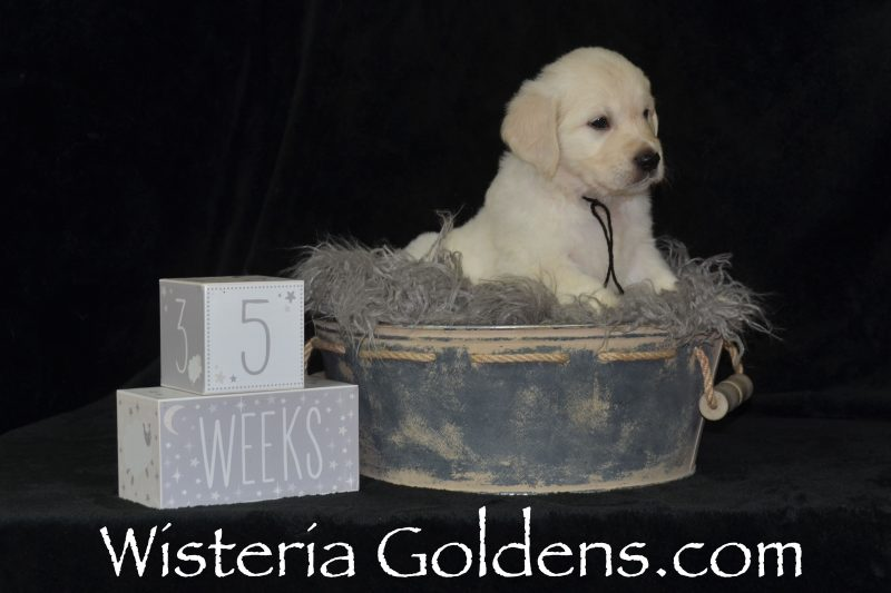 Pink Girl Five Week Pictures Promise Litter Wisteria Goldens English Cream Golden Retriever Puppy