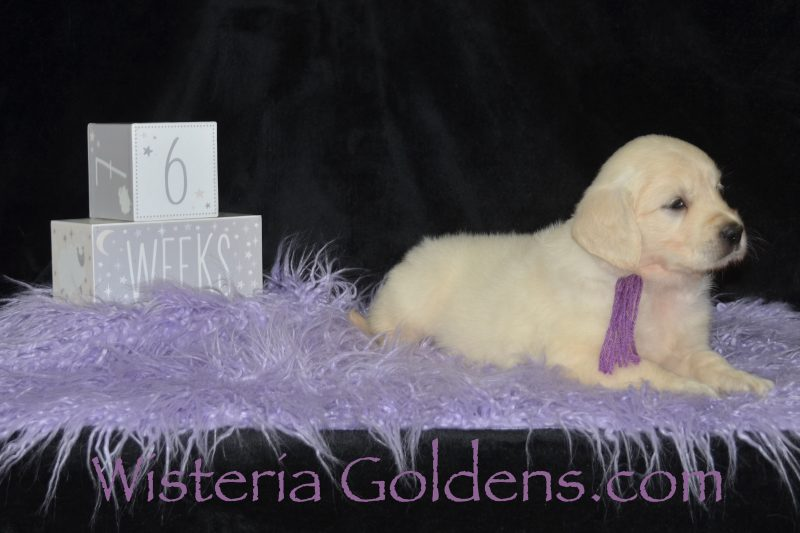 Promise Litter #promise062719 Six Week Pictures English Cream Golden Retriever Puppies Wisteria Goldens Raised as part of our family until they become part of yours