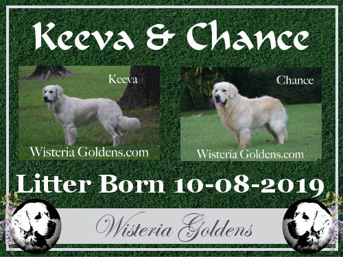 Keeva Litter Born 10-08-2019 #keeva100819 English Cream Golden Retriever puppies for sale Wisteria Goldens. Raised as part of our family until they become part of yours.