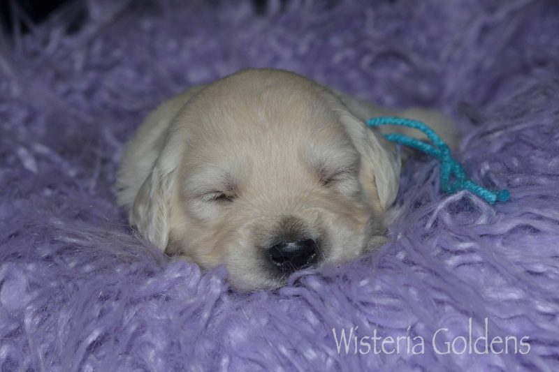 Keeva Litter Born 10-08-2019 Three Week Pictures English Cream Golden Retriever puppies for sale adoption Wisteria Goldens Part of our Family until they become part of yours. #keeva102819