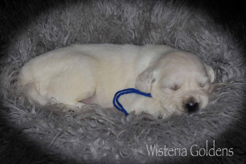 Marley Litter Three Week Pictures English Cream Golden Retriever Puppies for sale Wisteria Goldens Part of our Family until they are Part of Yours
