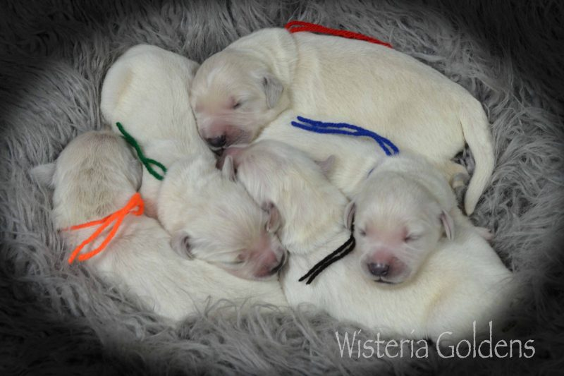 Raven Litter Born 10-07-2019 Newborn Pictures English Cream Golden Retriever puppies for sale Wisteria Goldens. Raised as part of our family until they become part of yours. #raven100719