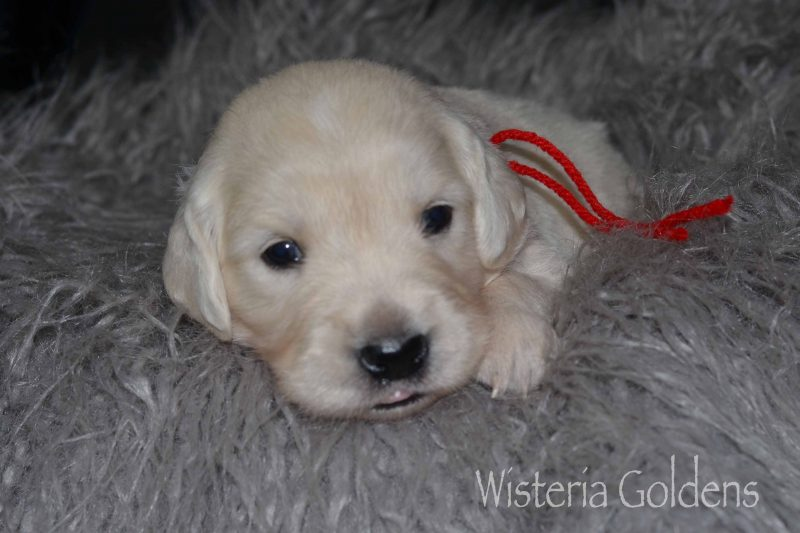 Raven Litter Three Week Pictures Raven Litter Born 10-07-2019 Wisteria Goldens English Cream Golden Retriever puppies for sale Raised as part of our Family until they become part of Yours