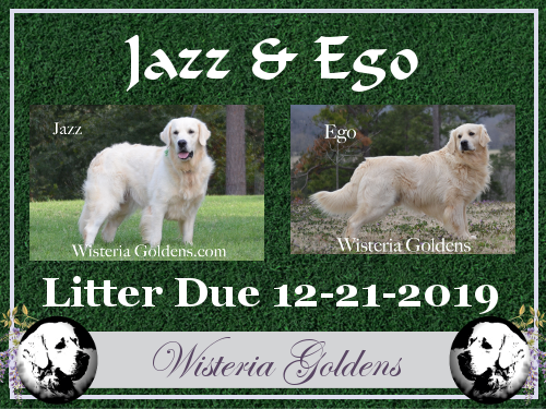 available puppies upcoming english cream golden retriever puppies for sale Jazz/Ego litter due 12-21-2019