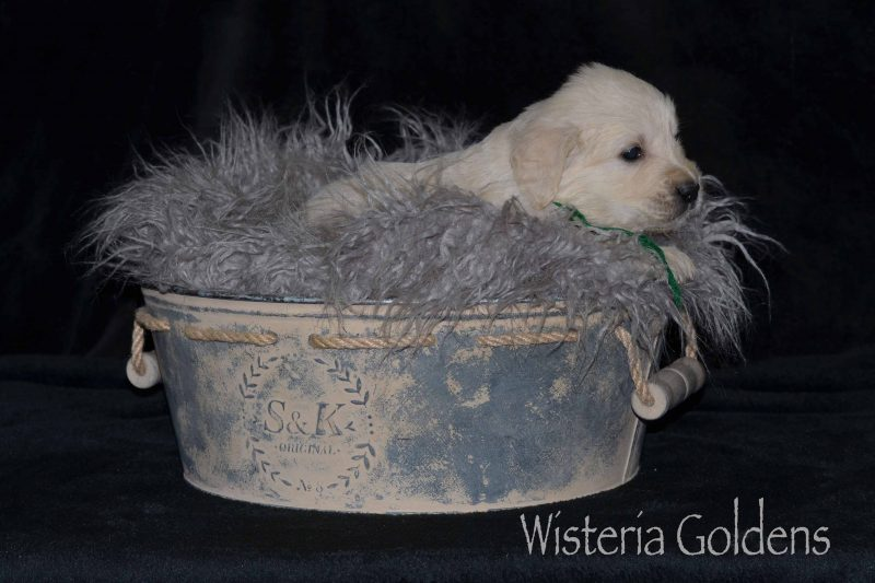 Keeva/Chance #keeva100819 Five Week pictures English Cream Goldens Wisteria Goldens puppies for sale adoption English Golden Retriever puppies