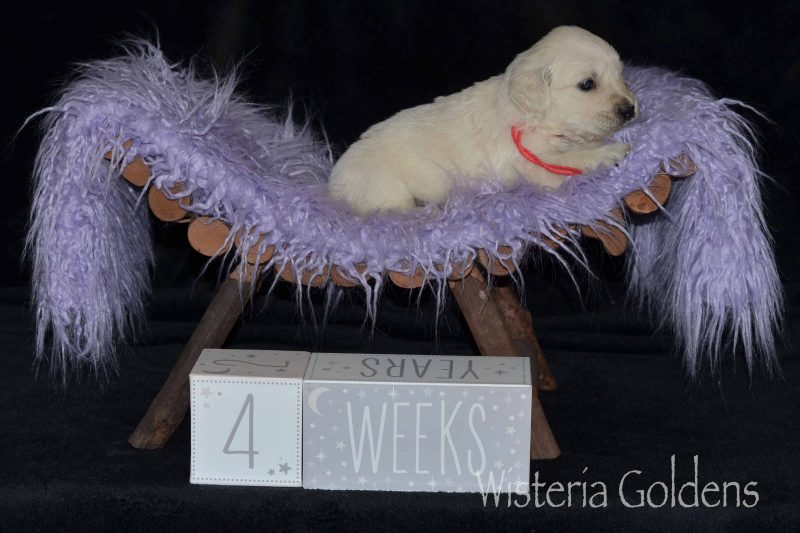 Keeva/Chance – Litter Born 10/08/2019. 6 girls and 5 boys. English Cream Golden Retriever Puppies for sale/adoption at Wisteria Goldens. We raise English Goldens as part of our family until they become part of yours. At Wisteria Goldens where you'll find puppies romping, swimming, and playing all day!