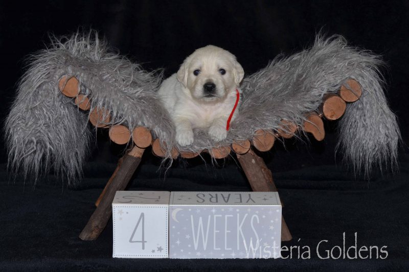 Keeva Litter Four Week Pictures 6 girls and 5 boys. English Cream Golden Retriever Puppies for sale/adoption at Wisteria Goldens. We raise English Goldens as part of our family until they become part of yours. At Wisteria Goldens where you'll find puppies romping, swimming, and playing all day!