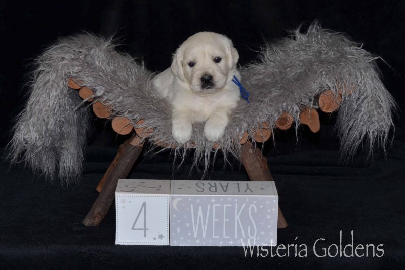 #Marley100719 Marley/Chance – Litter Born 10/07/2019. 3 girls and 7 boys. English Cream Golden Retriever puppies for sale for adoption Wisteria Goldens English Goldens We raise each puppy as a part of our family until they become part of yours. Current Litters Four Week Pictures
