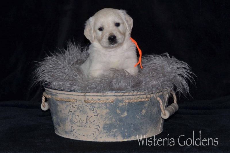 Marley/Chance Litter Born 10-07-2019 Five Week Pictures English Cream Golden Retriever puppies for sale. Our English Cream Goldens are raised as part of our family until they become part of yours.