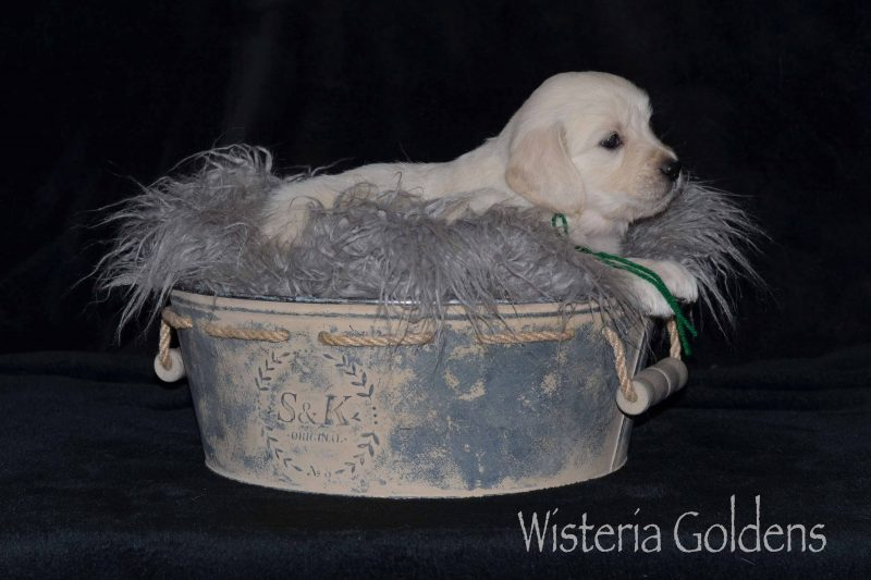 Raven/Chance Litter Born 10-07-2019 Five Week Pictures English Cream Golden Retriever puppies for sale. Our English Cream Goldens are raised as part of our family until they become part of yours.