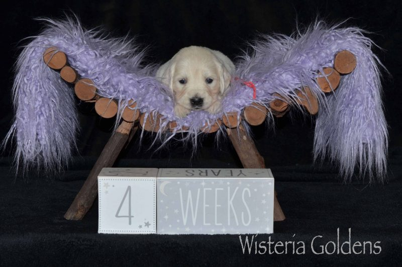 #raven100719 Raven/Ego – Litter Born 10/07/2019. 4 girls and 5 boys. English Cream Golden Retriever puppies for sale for adoption Wisteria Goldens English Goldens We raise each puppy as a part of our family until they become part of yours. Current Litters Four Week Pictures