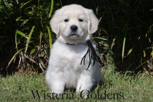 Angel & Ego 09-02-2014 English Cream Golden Retriever Puppies Previous Litters at Wisteria Goldens Ranch