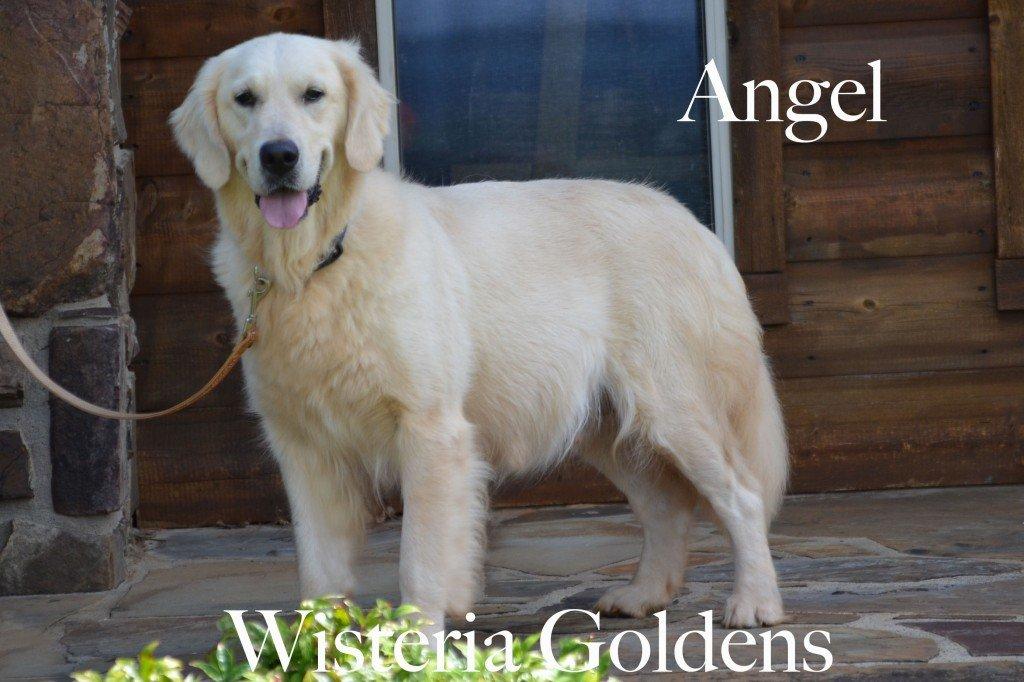 Angel English Cream Golden Wisteria Goldens Retired
