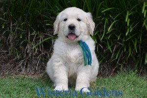 English Cream Golden Retriever Holly Blue Boy 6 weeks