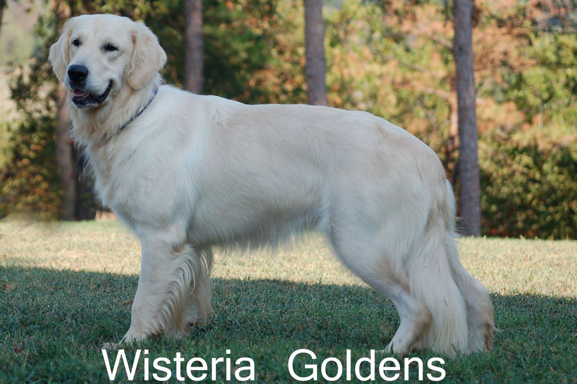 Violet 0309 Violet Full English Cream Golden Retriever Wisteria