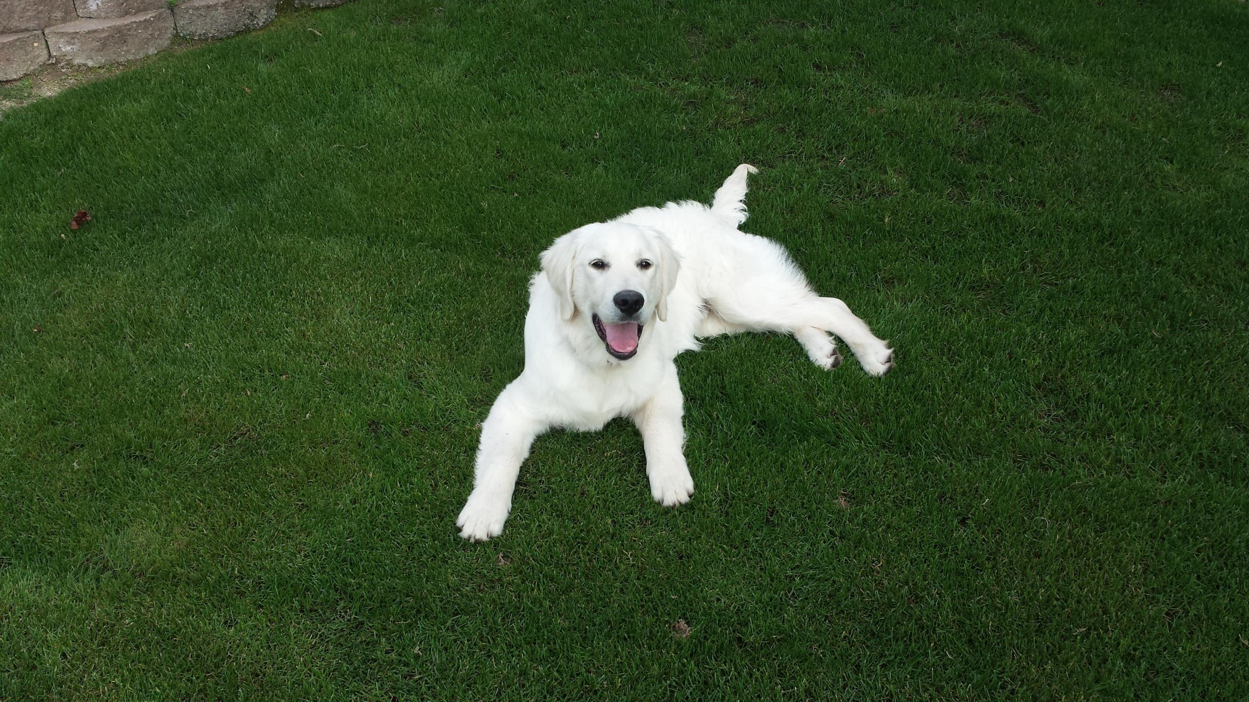 English Cream Golden Retriever Personality Overview -- Wisteria Goldens