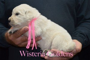 Pink Girl 3 6 lbs English Cream Golden Retriever Puppies for sale 3