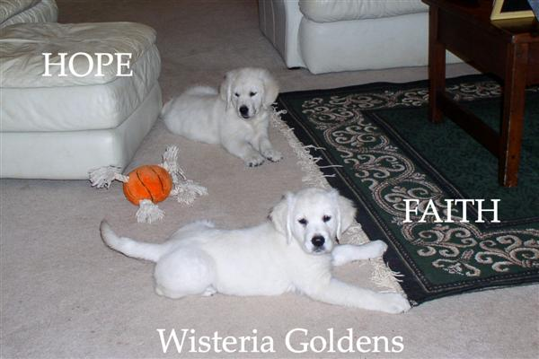 Hope and Faith as puppies Wisteria Goldens English Cream Golden Retriever puppy pictures