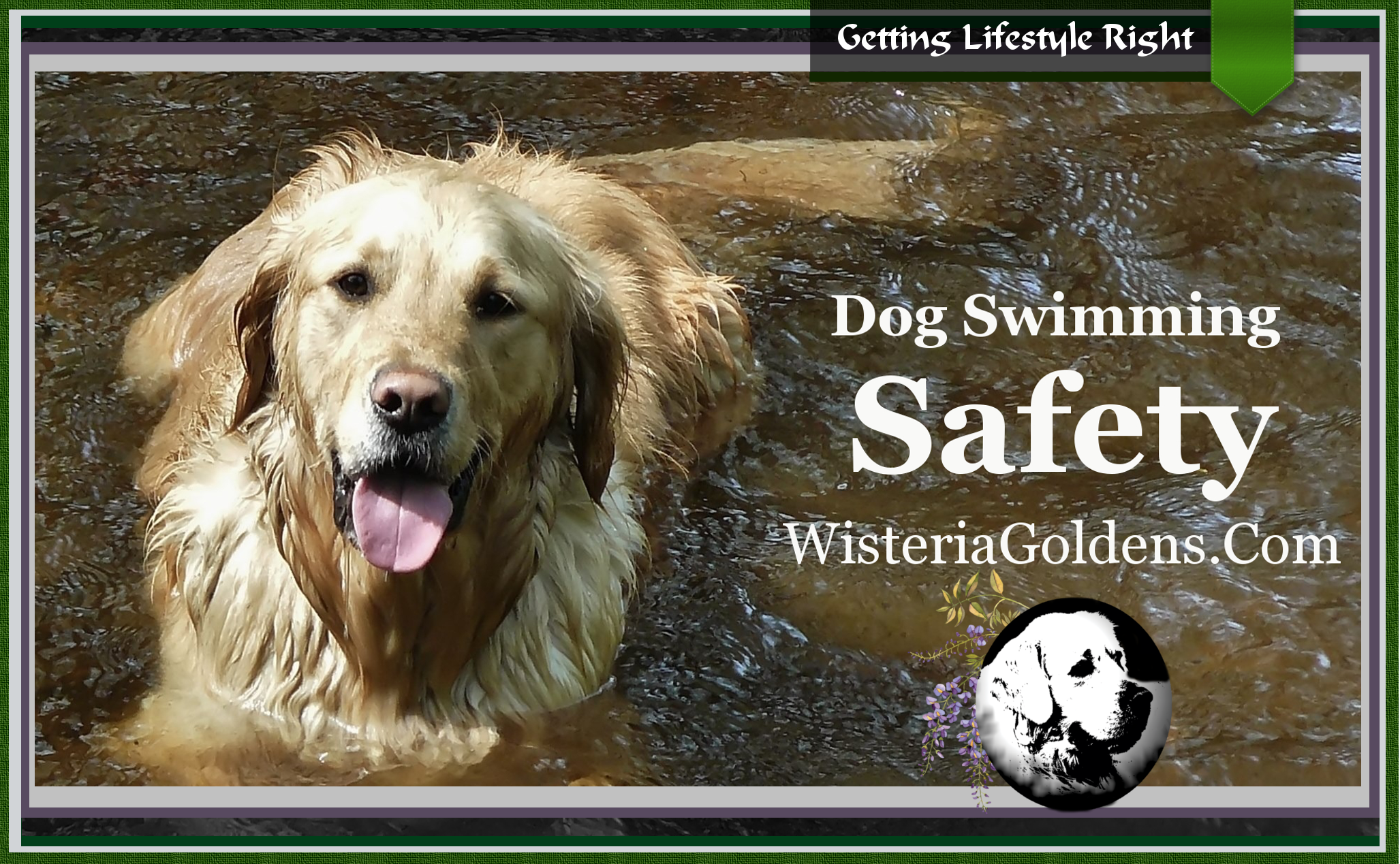 Swimming Safety English Goldens Wisteria Goldens guide to teaching your dog safe behavior around and in the water