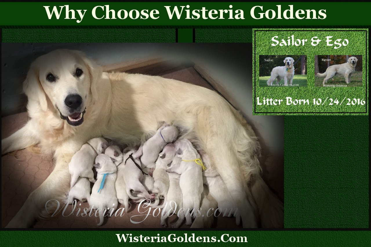 Why Choose Wisteria Goldens?