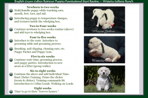 Early Neurological Stimulation (ENS) English Cream Golden Retriever Puppies Foundational Start Routine at Wisteria Goldens