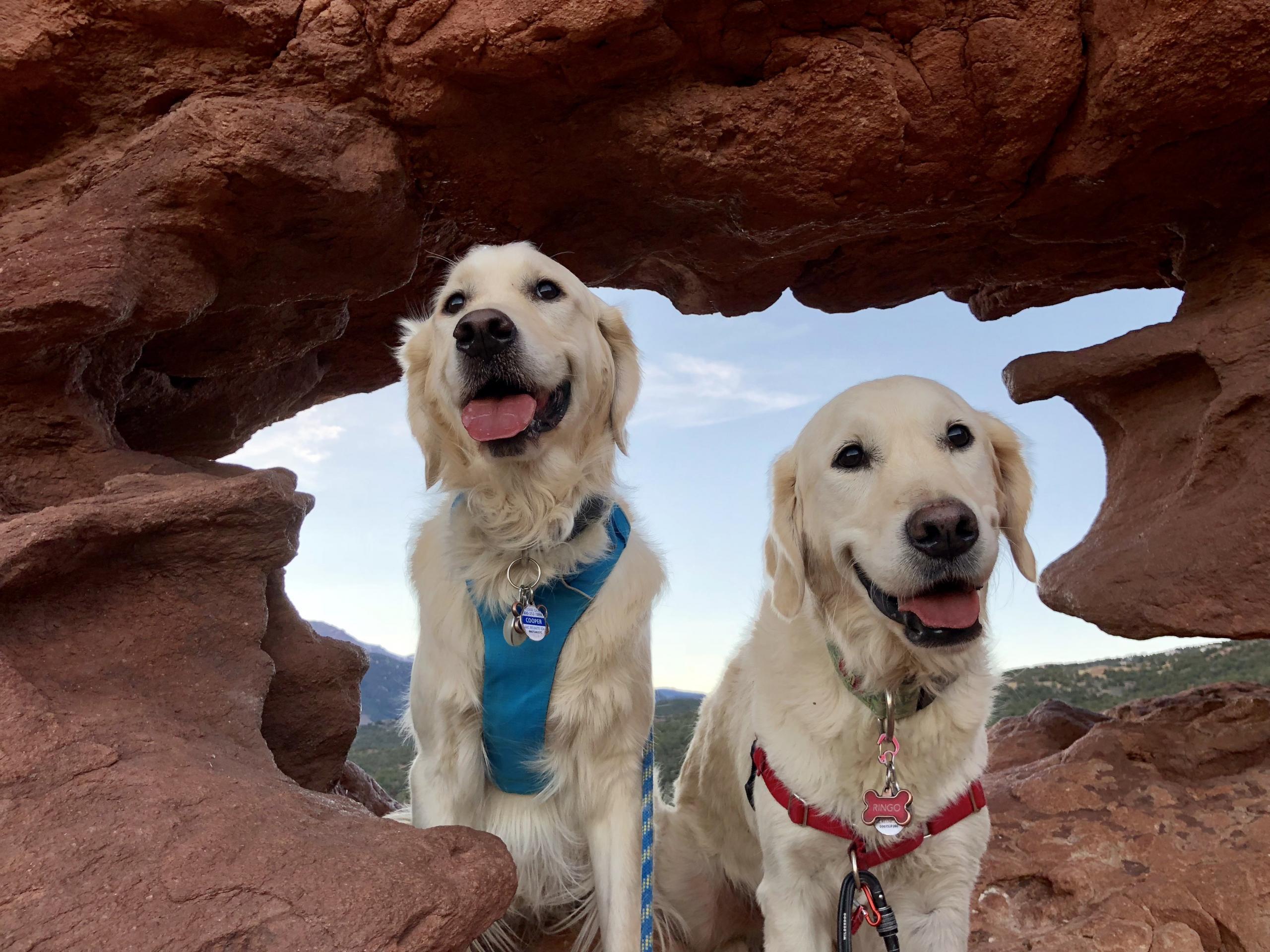 English Cream Golden Retriever puppies updates from Happy Families Wisteria Goldens Family Cooper (Harmony/Ego) , Ringo (Zoey/Thor) Outdoor Advernturers