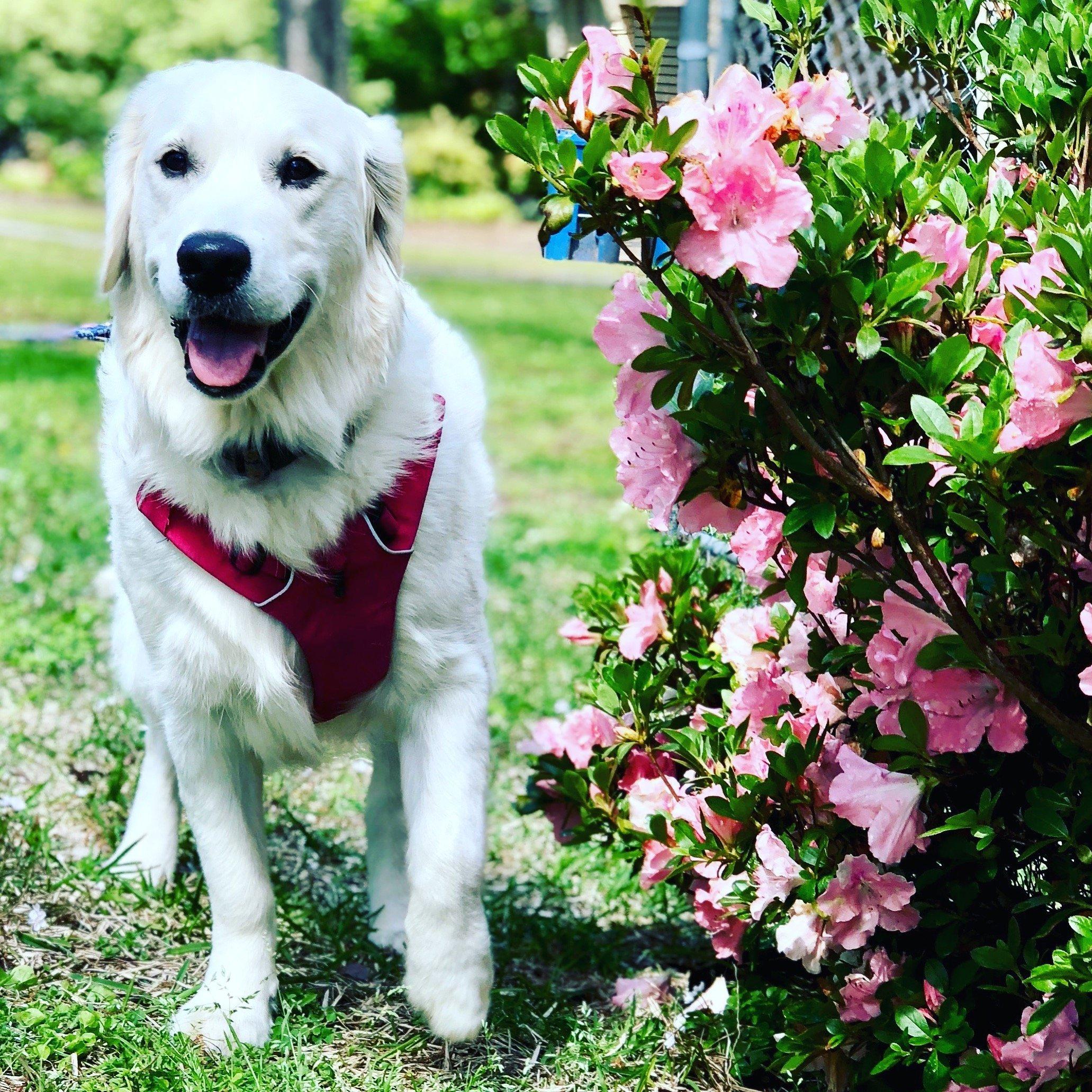 English Cream Golden Retriever puppy update, Happy Families, Wisteria Goldens, English Golden Retriever