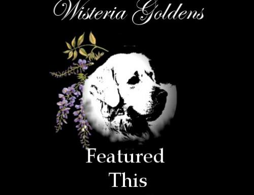 Featured This Month at Wisteria Goldens