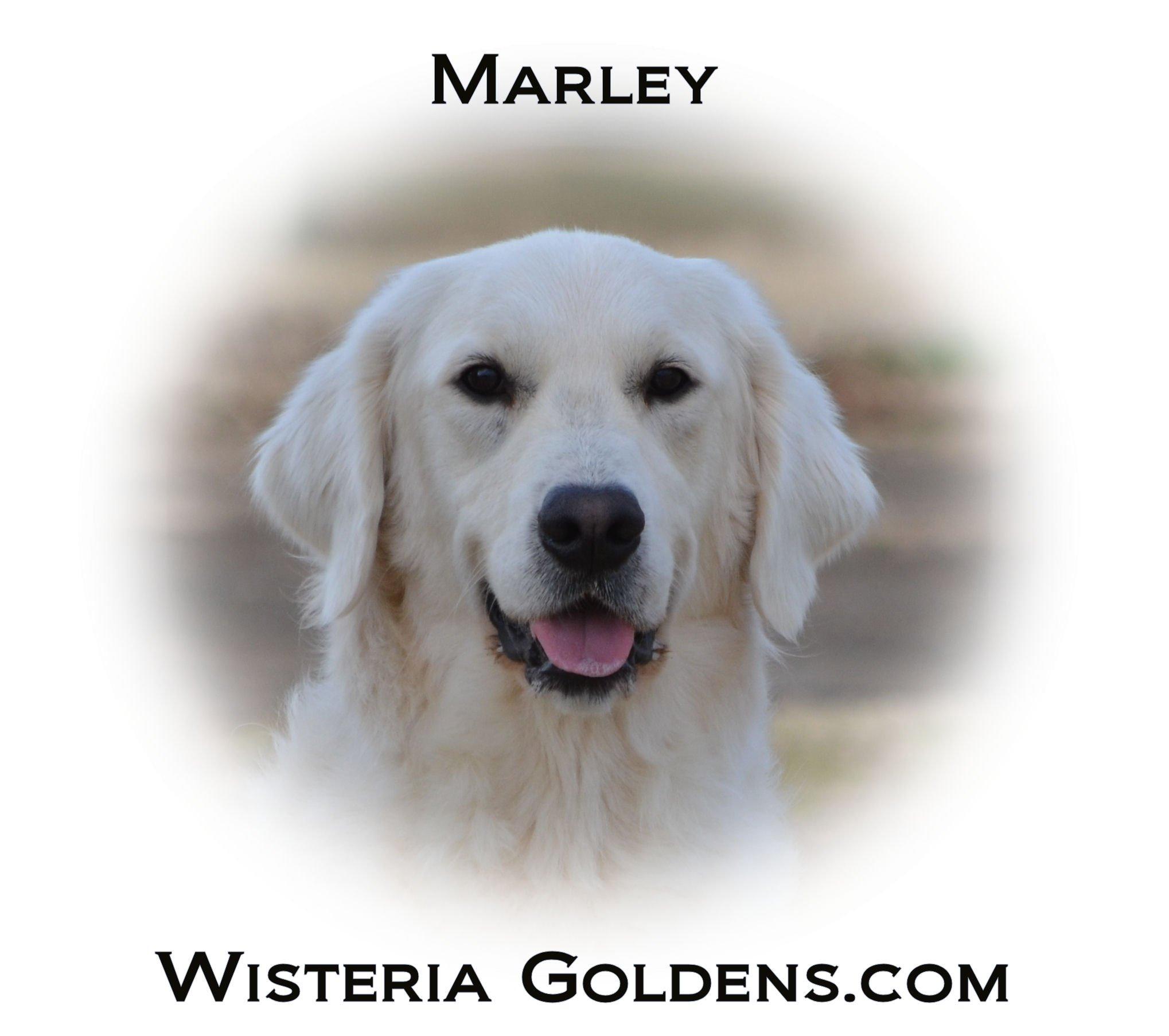 Marley English Cream Golden Retriever Wisteria Goldens