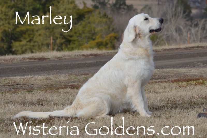 Marley English Cream Golden Retriever Wisteria Goldens
