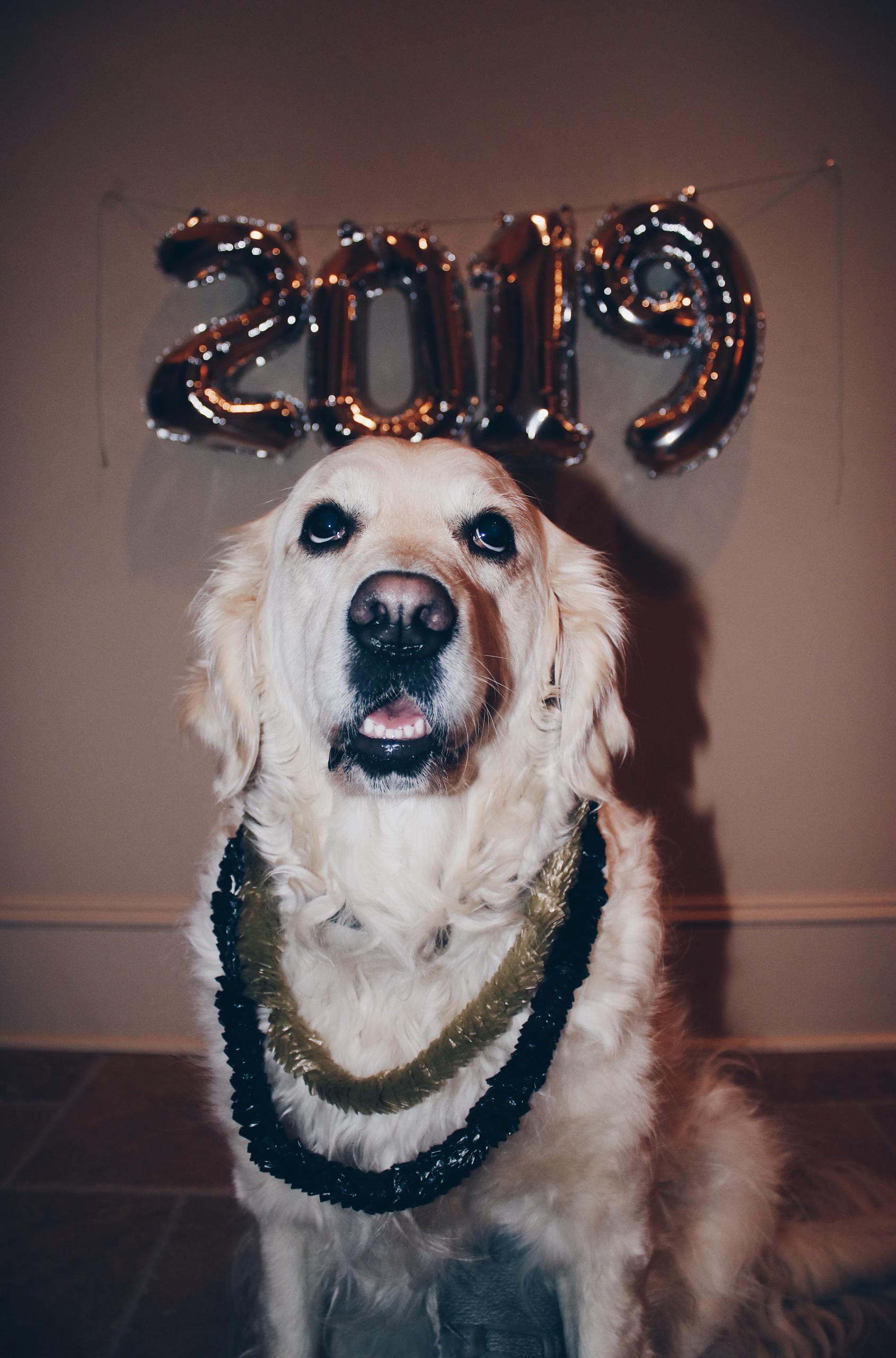 happy families, wisteria goldens puppy update, english cream golden retriever, puppy update, piper, ego, eloise