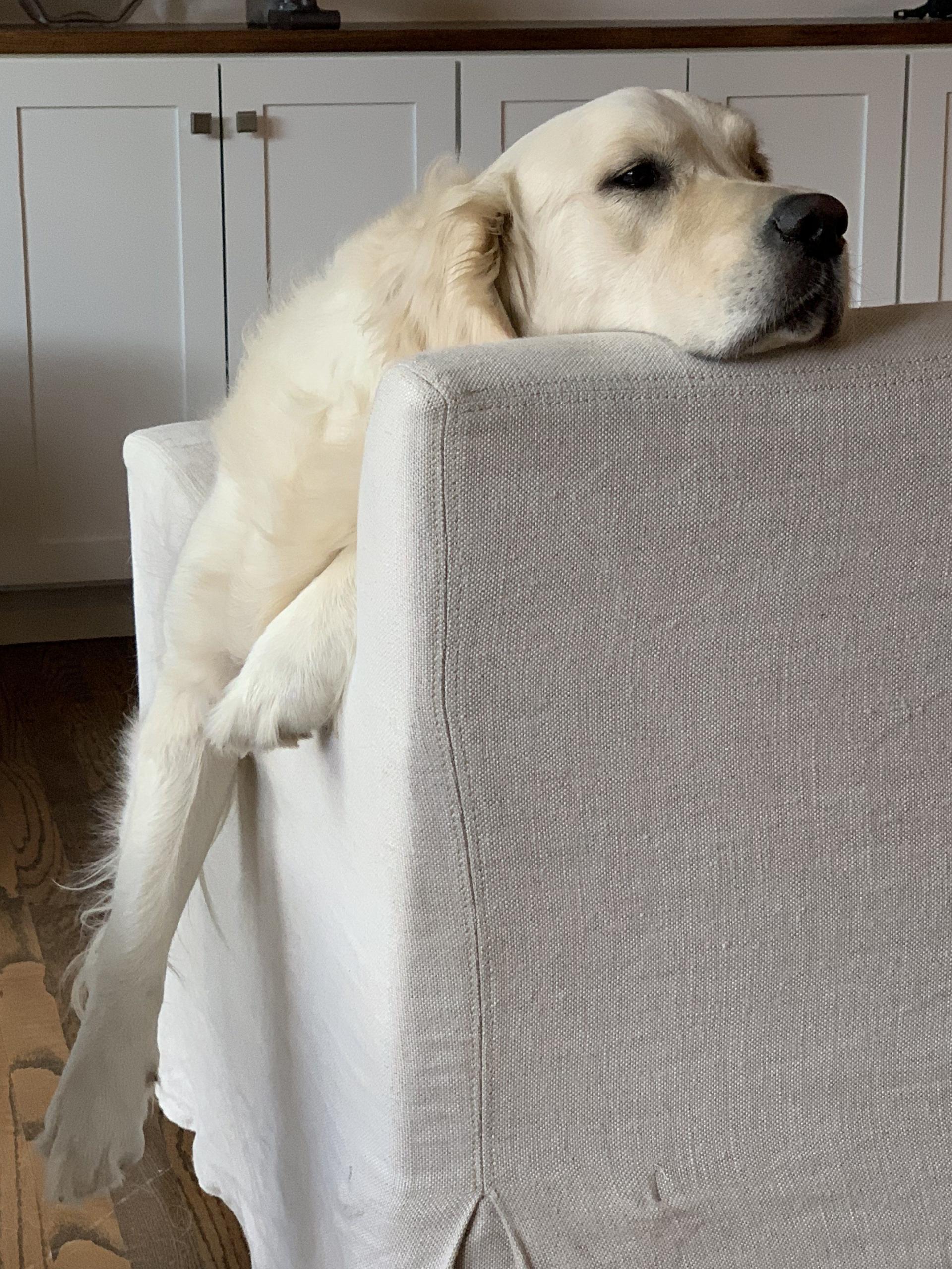 happy families english cream golden retriever puppy update butters (Sailor/Ego) testimonials puppy updates
