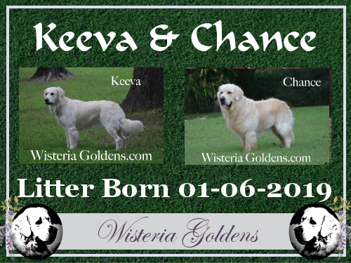 Keeva Litter Born 01-06-2019 English Cream Golden Retriever puppies for sale Wisteria Goldens Bred With HEART AKC Registered English Goldens