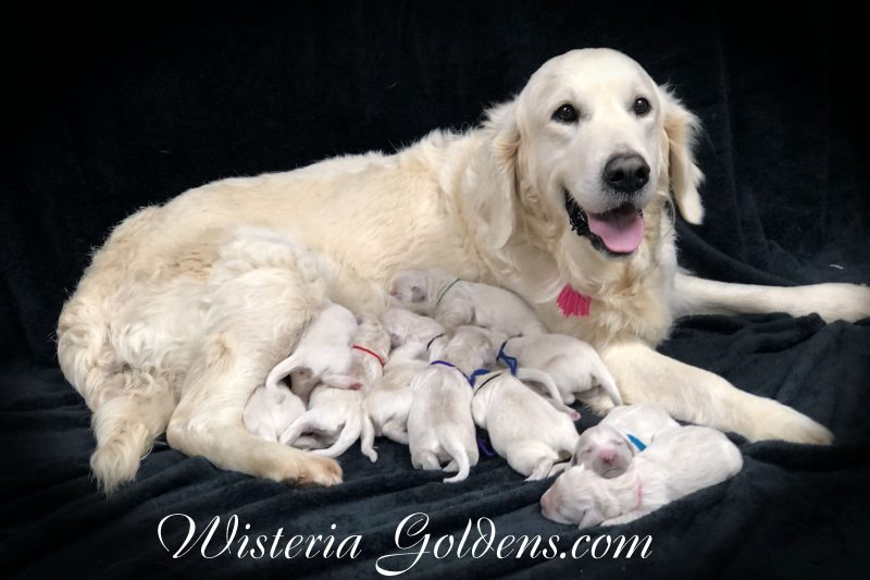 piper litter born 12-30-2018 English Cream Golden Retriever puppies for sale Wisteria Goldens BRED with HEART AKC Registered English Goldens